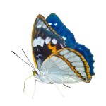 Whole Genome Butterfly